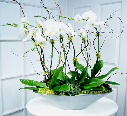 Phalaenopsis Orchid Garden Internet Special from Mockingbird Florist in Dallas, TX