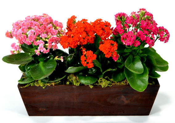 Kalanchoe Planter  from Mockingbird Florist in Dallas, TX