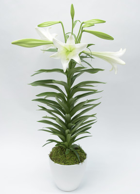Easter Lilly In White Ceramic Bowl from Mockingbird Florist in Dallas, TX