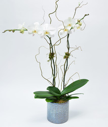 White Double Phalaenopsis In Blue Hugh Contianer from Mockingbird Florist in Dallas, TX