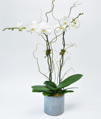 White Double Phalaenopsis In Blue Hue Container from Mockingbird Florist in Dallas, TX