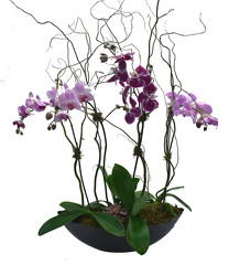 Contemporary Assorted Phalaenopsis Planter from Mockingbird Florist in Dallas, TX