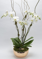 Multi Plant Phalaenopsis Planter  from Mockingbird Florist in Dallas, TX