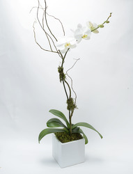 Phalaenopsis White Ceramic Cube Large Single Spike from Mockingbird Florist in Dallas, TX