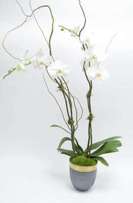 Phalaenopsis in Gold Rim Ceramic Container from Mockingbird Florist in Dallas, TX