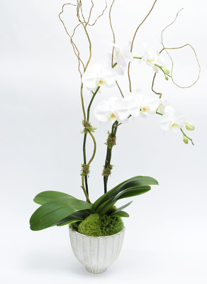 Double Phalaenopsis Orchid in Distressed Ceramic Container from Mockingbird Florist in Dallas, TX