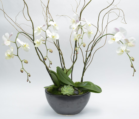Multi Phalaenopsis Orchid Plants in Ebony Oval Bowl from Mockingbird Florist in Dallas, TX