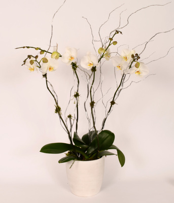 Large Double Phalaenopsis in White Ceramic Bowl from Mockingbird Florist in Dallas, TX