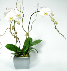 Elegant Palaenopsis Orchid in Silver Metal Container from Mockingbird Florist in Dallas, TX