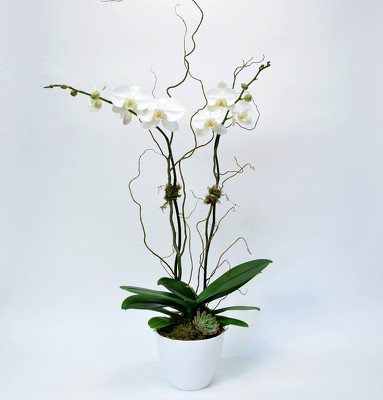 Phalaenopsis in White Ceramic Container from Mockingbird Florist in Dallas, TX