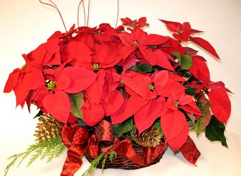 Christmas Plants from your Dallas Florist, Mockingbird Florist