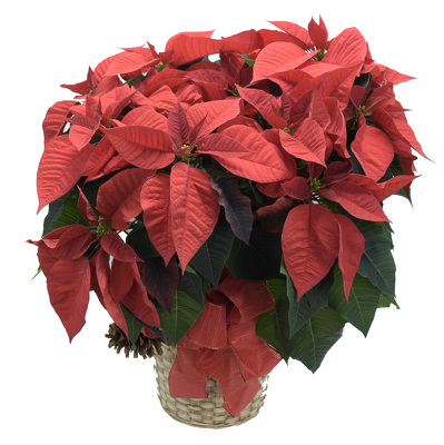Poinsettia Large  from Mockingbird Florist in Dallas, TX