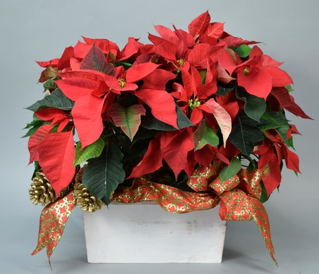 Poinsettia in White Washed Planter from Mockingbird Florist in Dallas, TX