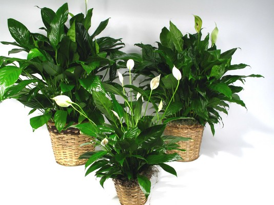 Spathiphyllum Plant from Mockingbird Florist in Dallas, TX