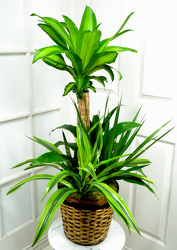 Combination Dracaena Plant  from Mockingbird Florist in Dallas, TX