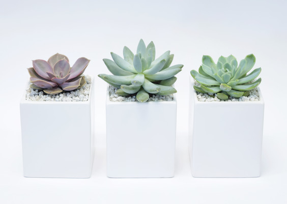 Succulents by Three  from Mockingbird Florist in Dallas, TX