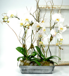 Orchid Garden In Wooden White Washed Container from Mockingbird Florist in Dallas, TX