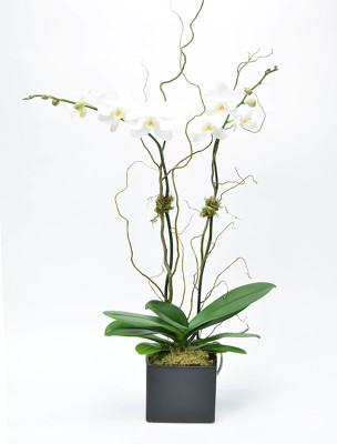Large Double Spike Phalaenopsis Black Ceramic container from Mockingbird Florist in Dallas, TX