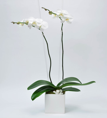 Phalaenopsis White ceramic Cube  from Mockingbird Florist in Dallas, TX