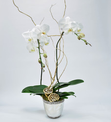 Orchid Large Double Spike in Silver Contianer from Mockingbird Florist in Dallas, TX
