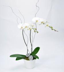 Orchid Large Double Spike in Ceramic Planter Holiday Trim from Mockingbird Florist in Dallas, TX